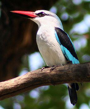 WoodlandKingfisher